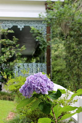 Photograph - Hydrangea - The Myrtles Plantation by Beth Vincent