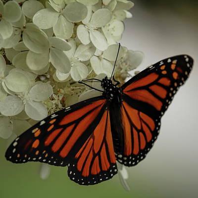 Photograph - Hydrangea Tree Monarch by Dale Kauzlaric