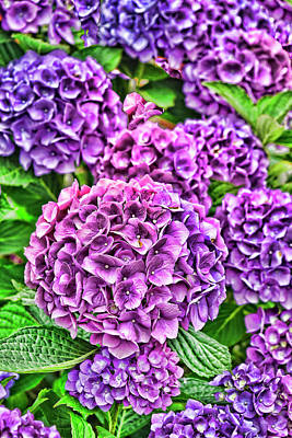 Photograph - Hydrangea Two by Renee Marie Martinez