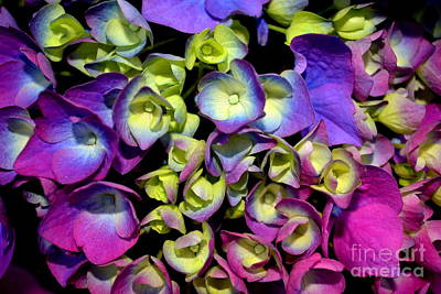 Photograph - Hydrangea by Vivian Krug Cotton
