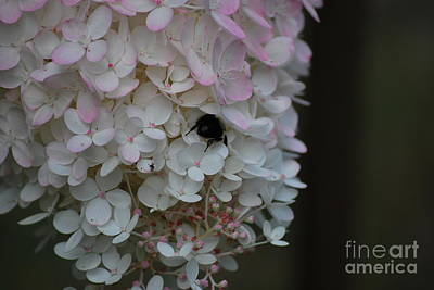Photograph - Hydrangea Worker by Terri Oberg