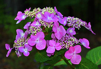 Photograph - Hydrangeas 003 by George Bostian
