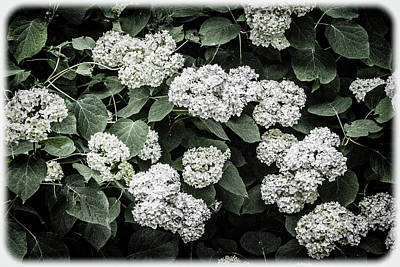 Photograph - Hydrangeas - Annabelle Snowball Old-fashioned Hydrangeas by Mother Nature
