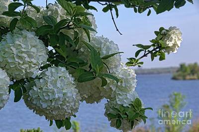 Photograph - Hydrangeas At Sunrise by Diana Mary Sharpton