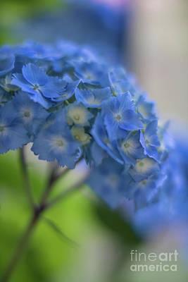 Photograph - Hydrangeas Blues Glow by Mike Reid