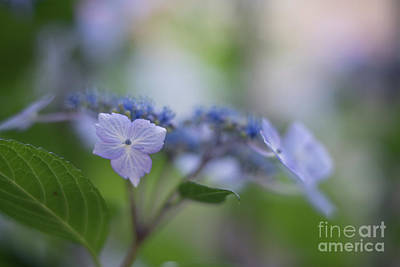 Stamen Photograph - Hydrangeas Dream by Mike Reid
