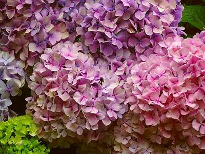 Photograph - Hydrangeas Galore by Susan Baker