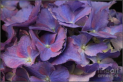 Photograph -  Hydrangeas In Shades Of Purple And Blue by Dora Sofia Caputo Photographic Art and Design