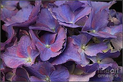 Photograph -  Hydrangeas In Shades Of Purple And Blue by Dora Sofia Caputo Photographic Art and Design