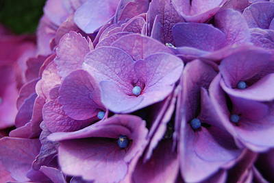 Photograph - Hydrangeas by Jocelyn Friis