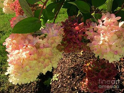 Photograph - Hydrangeas Of The Fall by Beth Saffer