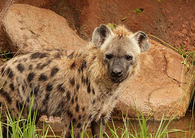 Photograph - Hyena A by Tony Brown