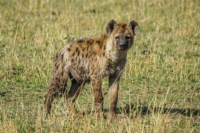 Photograph - Hyena by Daria Klepikova