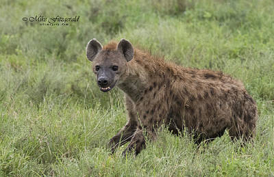 Photograph - Hyena by Mike Fitzgerald
