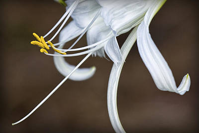 Photograph - Hymenocallis Narcissiflora by Patricia Montgomery