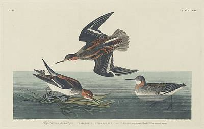 Seagull Drawing - Hyperborean Phalarope by Dreyer Wildlife Print Collections