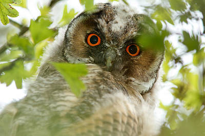 Owlets Photograph - Hypnoteyes - Long-eared Owl by Roeselien Raimond
