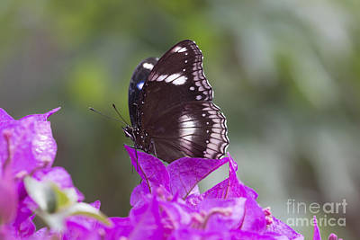 Photograph - Hypolimnas Bolina by Pietro Ebner