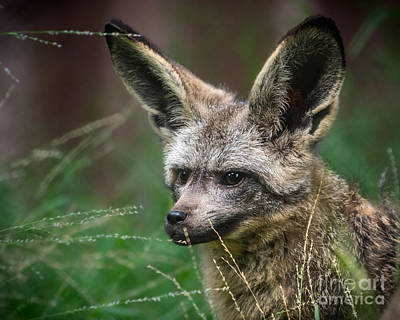 Big Ears Photograph - I Am All Ears by Jamie Pham