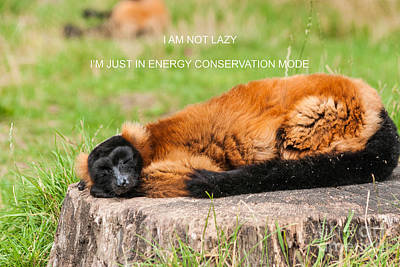 Red-ruffed Lemur Photograph - I Am Not Lazy by Steve Purnell