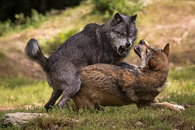 Wolves Photograph - I Am The Boss by Sebastian Graf