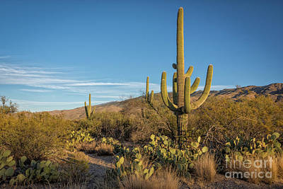 Photograph - I Am The Tallest Saguaro by David Levin