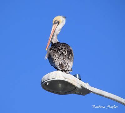 Streets Seen Painting - I Can See Clearly Now Pelican by Barbara Snyder