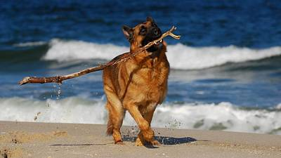 Photograph - I Got It - German Shepherd Dog by Angie Tirado