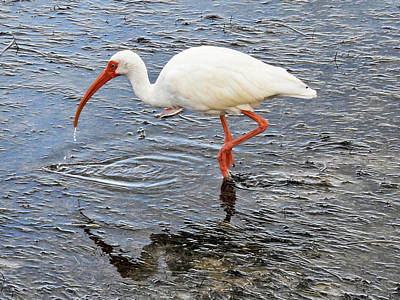 Photograph - Just One Ibis by Bob Slitzan