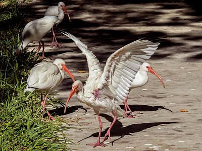 Photograph - More Ibis by Bob Slitzan