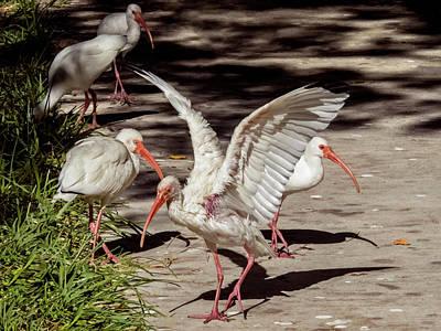 Photograph - More Ibis by Bob Slitzan