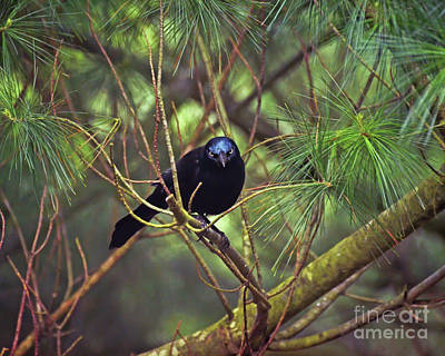 Photograph - I Have My Eyes On You - Grackle In The Pines by Kerri Farley