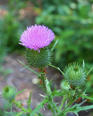 Photograph - I Like Thistle Blossoms by rd Erickson