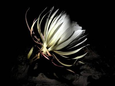 Epiphyllum Oxypetalum Photograph - I Love The Nightlife by Belinda Nagy