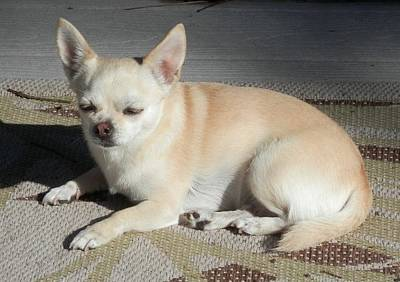 Photograph - I Need Sunglasses Chihuahua  by Belinda Lee