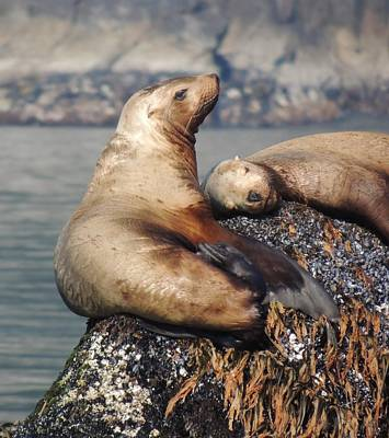 Photograph - I Sea Lion Napping by Red Cross