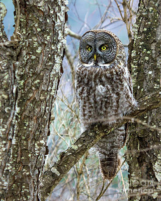 Photograph - I See It - Great Gray Owl by Lloyd Alexander