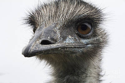 Ostrich Photograph - I See You by Douglas Barnard