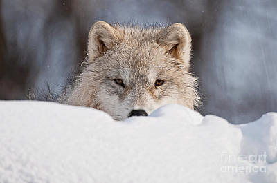 Arctic Wolf Photograph - I See You by Michael Cummings