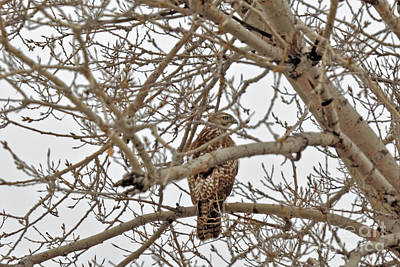 Hawk Photograph - I See You by Natural Focal Point Photography