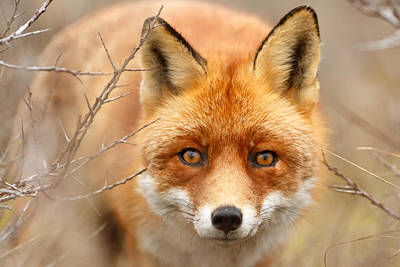 Dog Close-up Photograph - I See You - Red Fox Spotting Me by Roeselien Raimond