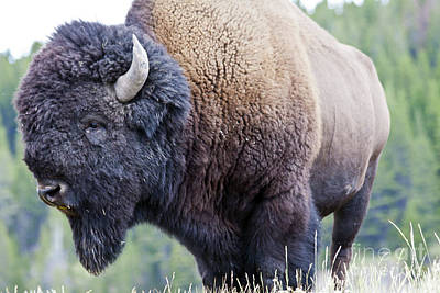 Bison Photograph - I See You by Scotts Scapes