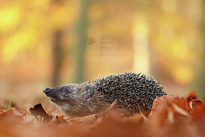 Hedgehog Wall Art - Photograph - I Smell Autumn - Hedhehog On The Move by Roeselien Raimond