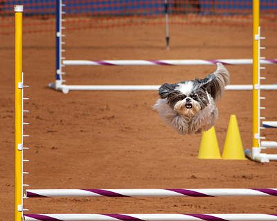 Boldness Photograph - I Think I Can Fly - Shih Tzu In Agility Competition by Mitch Spence