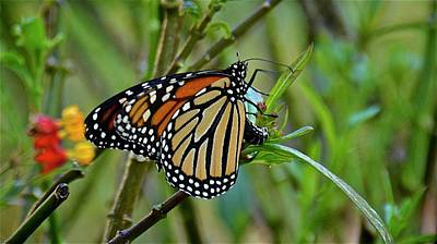 Photograph - I Think Monarch Caterpillars Are On The Way by Carol Bradley