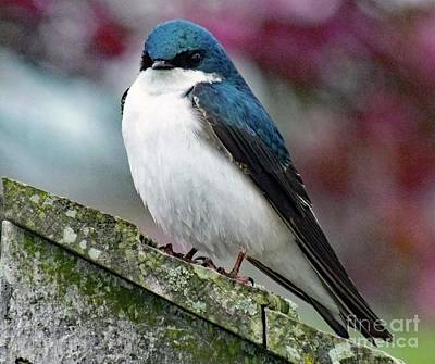 Madonna - I Want The Nest Box - Tree Swallow by Cindy Treger