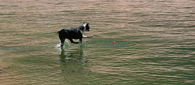 Boston Terrier Photograph - I Would Walk On Water For You by Angie Wingerd