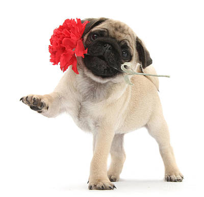 Photograph - I Wuff You Pug Pup by Warren Photographic