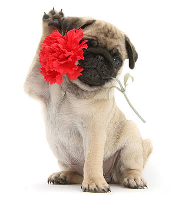 Photograph - I Wuff You Pug by Warren Photographic