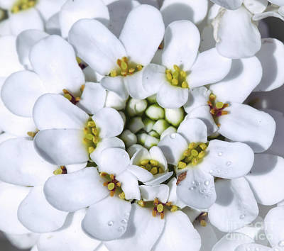 Photograph - Iberis - Candytuft Flower Macro by Kerri Farley